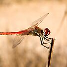 Red Dragonfly by Kawka