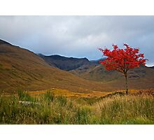 An Autumn Sycamore, Scotland.  Photographic Print