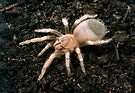 Mexican Red Knee Spiderling by Kawka
