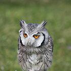 Owl by Dennis the Elder