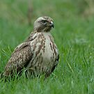 Common Buzzard - III (Buteo buteo) by Peter Wiggerman