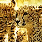 Cheetah affection by Alan Mattison IPA