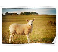 Smiling Sheep in Field Poster
