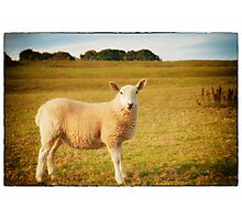 Smiling Sheep in Field Photographic Print