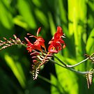 Crocosmia by vivendulies