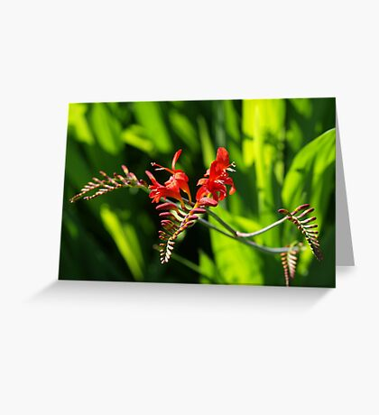Crocosmia VRS2 Greeting Card