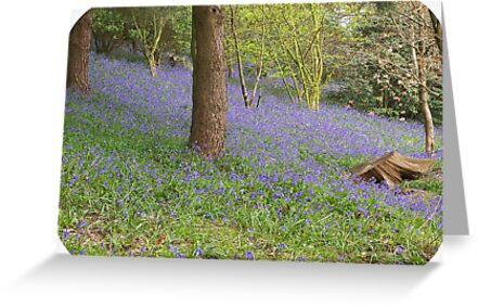 Bluebell Wood by ColinBoylett