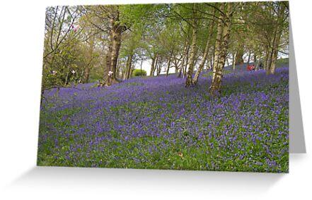 Bluebells by ColinBoylett