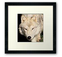 Face of a Wolf Framed Print