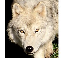 Face of a Wolf Photographic Print