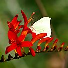 Brimstone on a Montbretia Panicle by vivendulies
