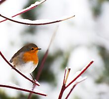 European Robin in the winter by Harald Walker