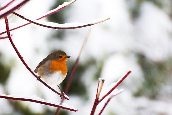 European Robin in the winter by Harald Walker