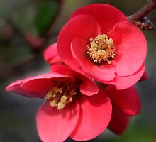 Quince tree blossom by Rachel Down