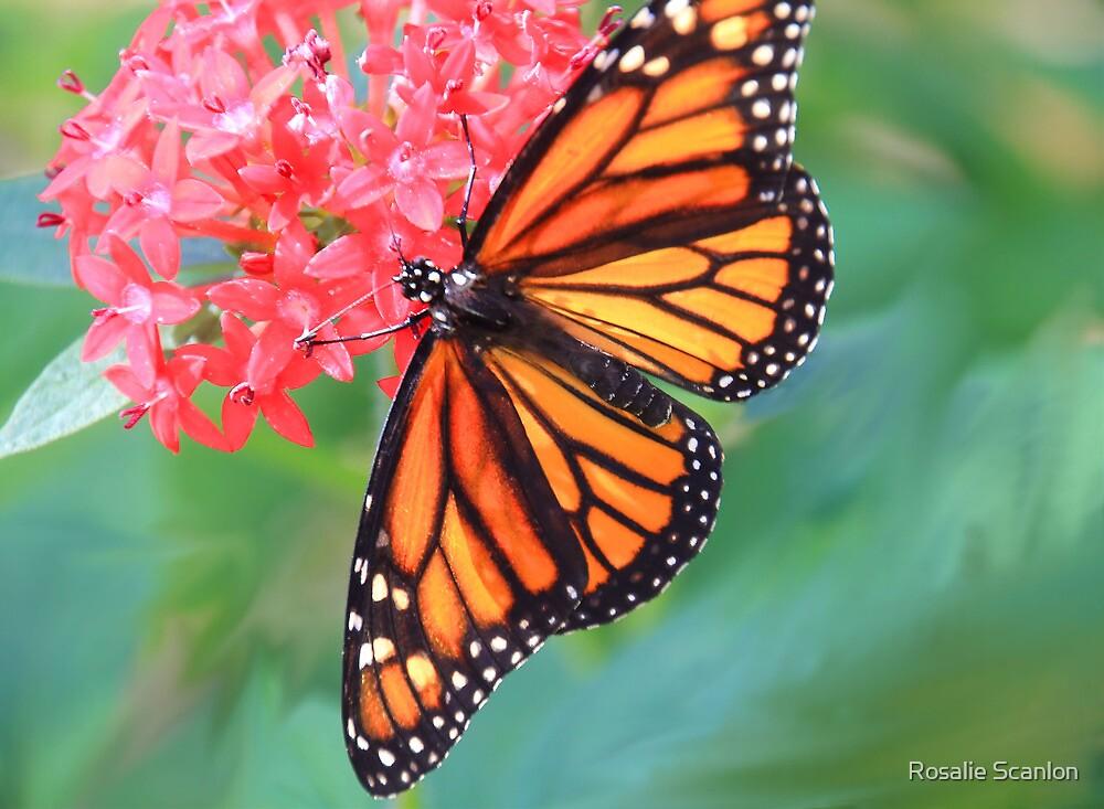 Monarch Macro by Rosalie Scanlon