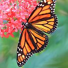 Monarch Macro by Rosalie Scanlon
