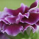 Purple Gloxinia by Robyn Selem
