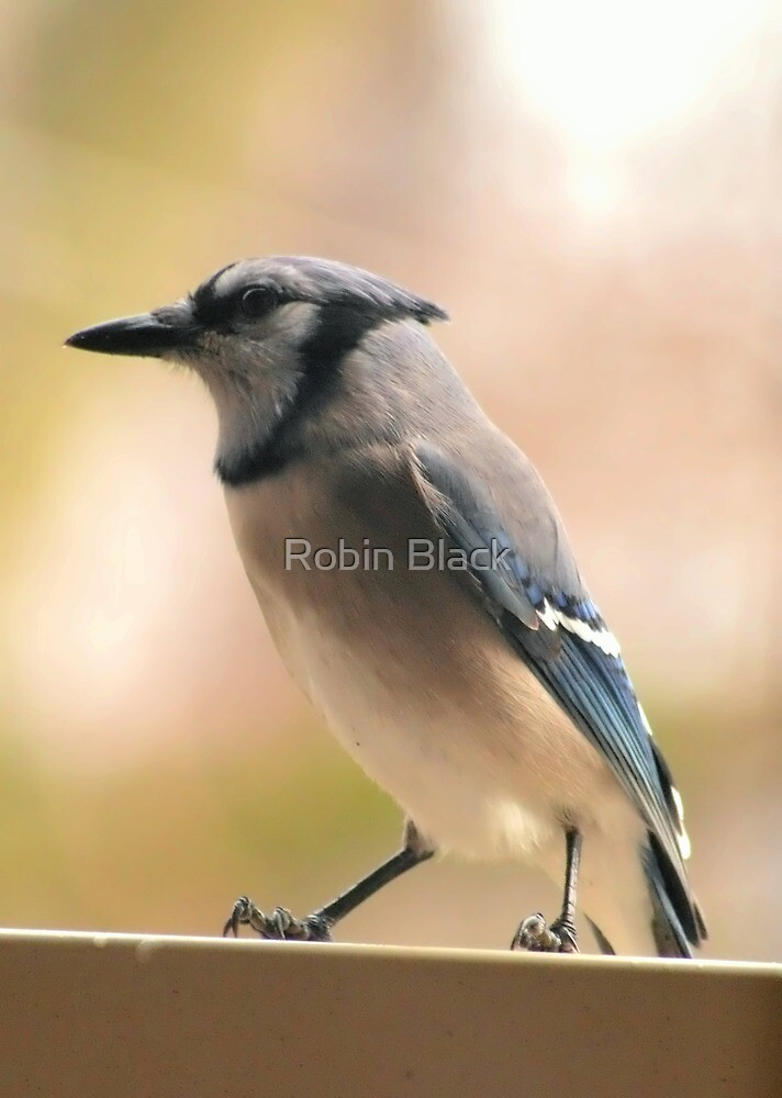 Blue Jay by Robin Lee