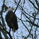 Bald Eagle by Robin Black