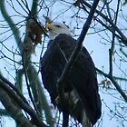 Bald Eagle by Robin Lee