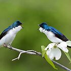 Tree Swallows on Flowering Dogwood Branch by TomReichner