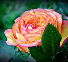"""A Rose Of Beauty"" by Gail Jones"