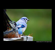 Cyanocitta Cristata - North American Blue Jay by © Sophie W. Smith