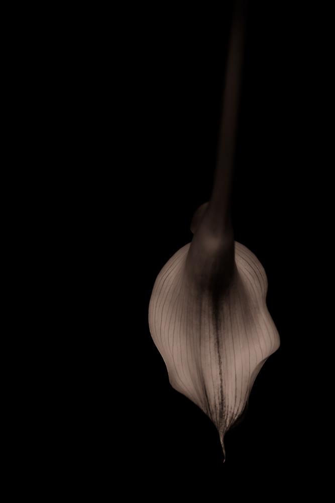 Calla Lily in repose by alan shapiro