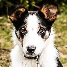 Bertie the Collie by PhotoLouis