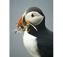 Puffin with nesting materials Photographic Print