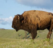 Bison, or Buffalo, in Yellowstone National Park by TomReichner