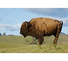 Bison, or Buffalo, in Yellowstone National Park Photographic Print