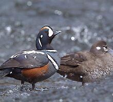 Harlequin Ducks, Yellowstone River by TomReichner