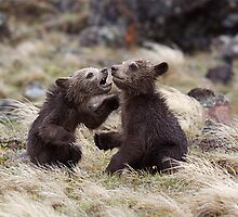 Grizzly Bear Cubs - Twins!  Yellowstone National Park by TomReichner