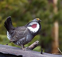 Dusky Grouse, male breeding display, Yellowstone by TomReichner