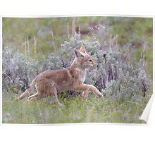Baby Coyote Running thru Sage Brush, Yellowstone Poster