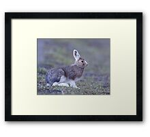 Snowshoe Hare changing back to summer's brown, Yellowstone Framed Print