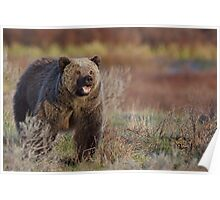 Grizzly Bear, aggressive posturing, Yellowstone National Park Poster