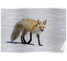 Red Fox in Snow, Yellowstone National Park Poster
