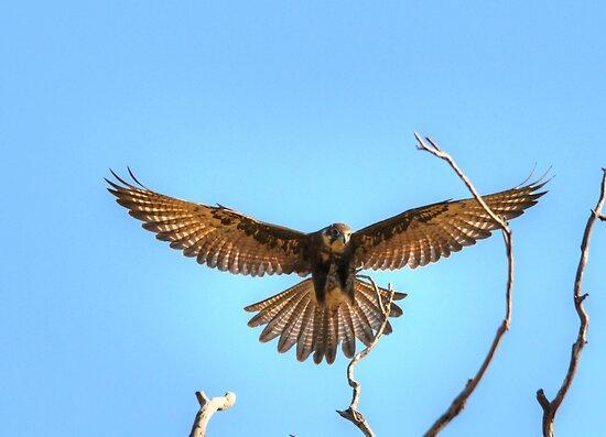 Brown Falcon Landing Approach  by Kym Bradley
