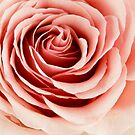 Rose 4 by Russell Fry