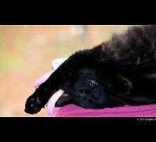 Felis Catus - Black Female Turkish Angora Cat Sleeping by © Sophie W. Smith