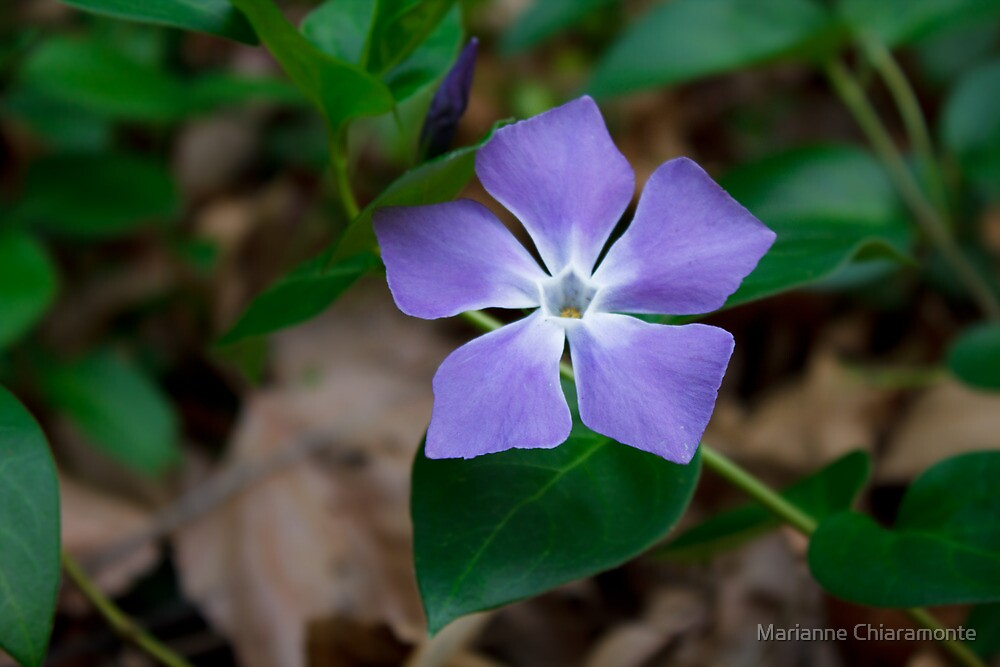 My Mother's Violet by Marianne Chiaramonte