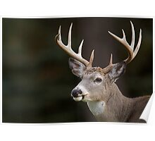 Whitetail Buck Portrait Poster