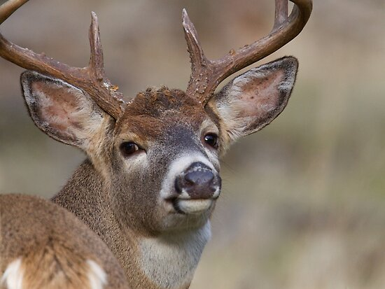 "Whitetail Buck Portrait, ""over the shoulder"" by TomReichner"