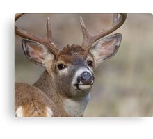 "Whitetail Buck Portrait, ""over the shoulder"" Metal Print"