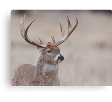 Whitetail Deer Portrait - very old buck Canvas Print