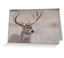 Whitetail Deer Portrait - very old buck Greeting Card