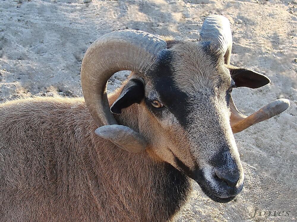 American Blackbelly Sheep by Gail Jones