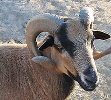 American Blackbelly Sheep by Gail Jones